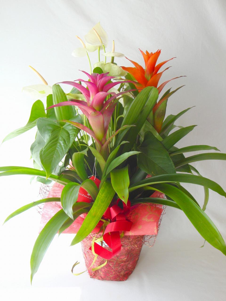 観葉植物、グズマニア、アンスリューム、寄せ植え、開店祝い