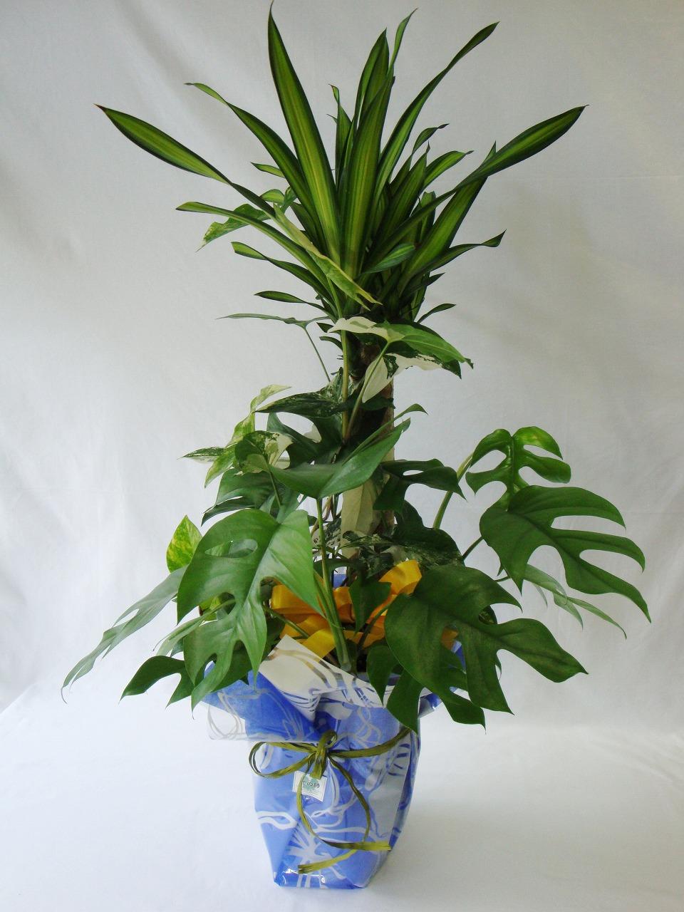 観葉植物、ドラセナ、モンステラー、寄せ植え、開店祝い