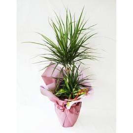 観葉植物、新築祝い